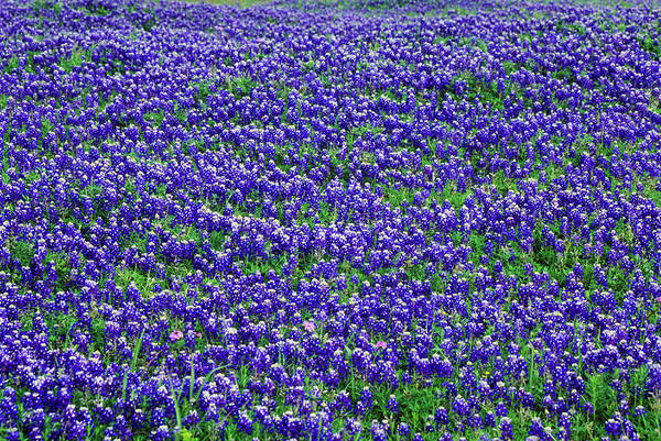 Texas Bluebonnet Photograph - Field Of Bluebonnets In Bloom Spring by Panoramic Images