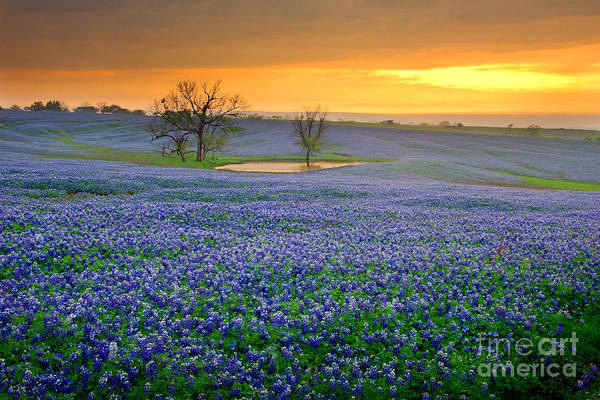 Indian Photograph - Field Of Dreams Texas Sunset - Texas Bluebonnet Wildflowers Landscape Flowers  by Jon Holiday