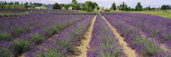 Jardin Photograph - Field Of Lavender, Jardin Du Soleil by Panoramic Images