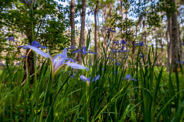 Photograph - Field Of Louisiana Irises by Andy Crawford