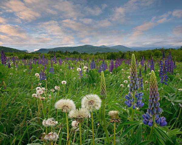 Photograph - Field Of Lupines by Darylann Leonard Photography