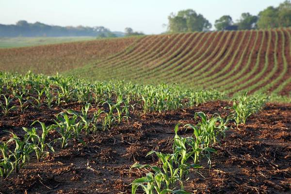 Row Crops Photograph - Field Of Maize by Jim West