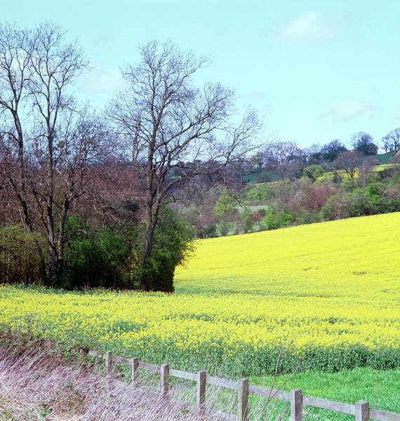 Wall Art - Photograph - Field Of Oil Seed Rape by Anthony Cooper/science Photo Library
