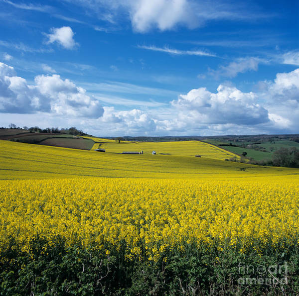 Photograph - Field Of Oilseed Rape by Nigel Cattlin