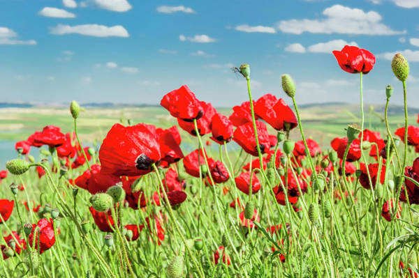 Eastern Anatolia Photograph - Field Of Poppies, Adiyaman Province by Gabrielle Therin-weise