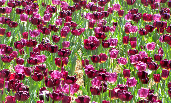 Photograph - Field Of Purple Tulips 2 by Duane McCullough