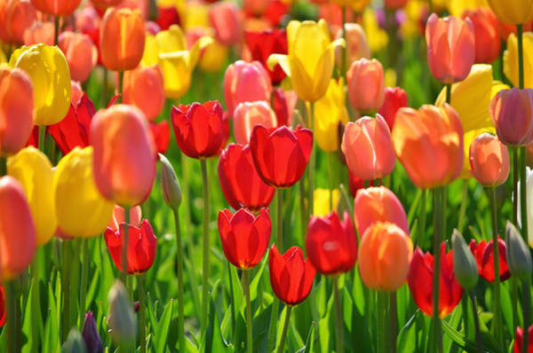 Holland Wall Art - Photograph - Field Of Red And Yellow Tulips by Photo By Ira Heuvelman-dobrolyubova