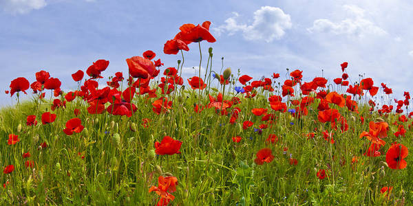 Wall Art - Photograph - Field Of Red Poppies by Melanie Viola