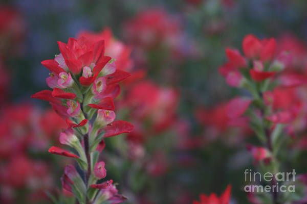 Desert Paintbrush Photograph - Field Of Red Flowers by Ruth Jolly