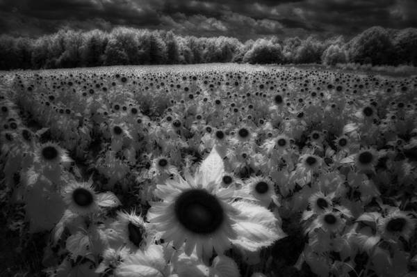 Photograph - Field Of Sunflowers by Donald Brown