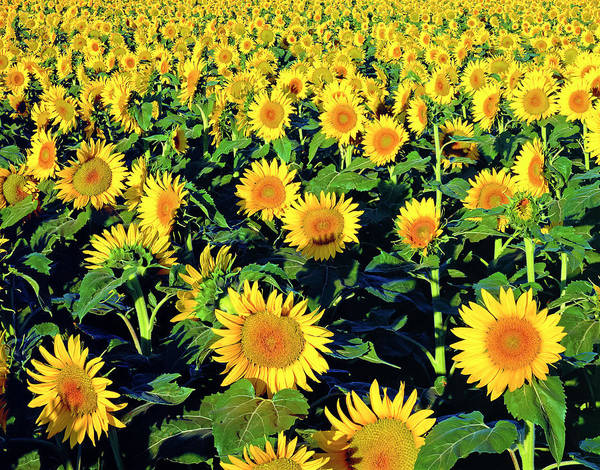 Sunflower Seeds Photograph - Field Of Sunflowers In Lubbock West by Dszc