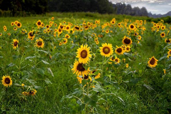 Wall Art - Photograph - Field Of Sunflowers by Mechala Matthews
