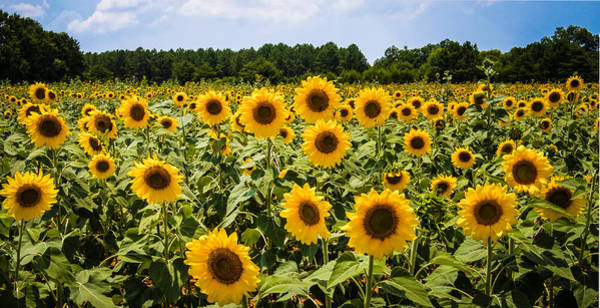 Photograph - Field Of Sunflowers by Penny Lisowski