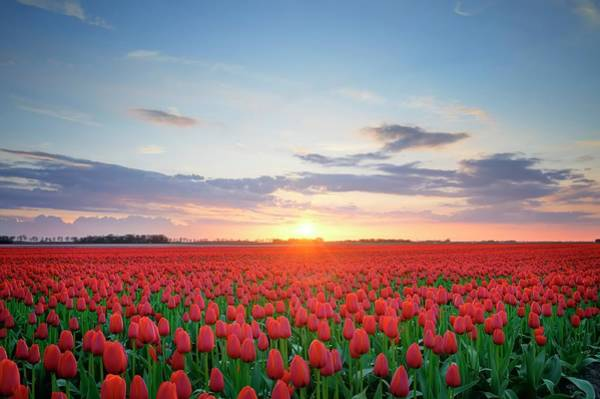 Photograph - Field Of Tulips In Hdr by Sjo