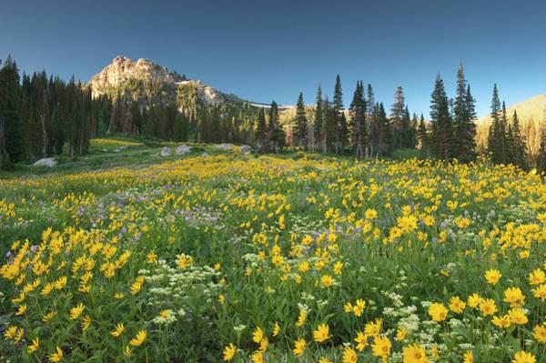 Balsamorhiza Sagittata Photograph - Field Of Wildflowers, Arrowleaf Balsam by Howie Garber