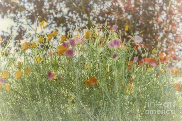 Photograph - Field Poppies by Elaine Teague