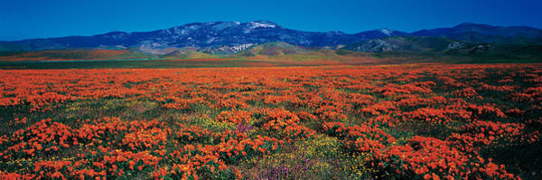 Foothills Wall Art - Photograph - Field, Poppy Flowers, Antelope Valley by Panoramic Images