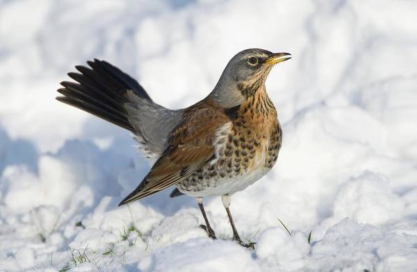 Wall Art - Photograph - Fieldfare In Snow by John Devries/science Photo Library