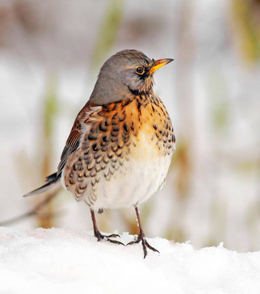 Photograph - Fieldfare In The Snow by Grant Glendinning