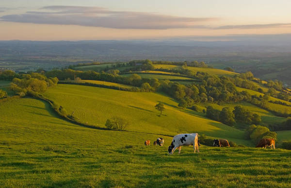 Photograph - Fields And Cows In Devon by Pete Hemington
