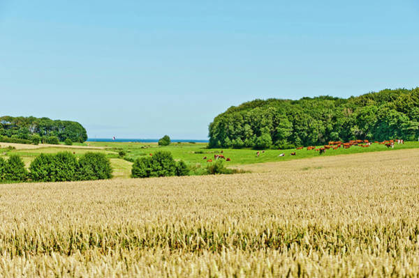 Sea Cow Photograph - Fields At The Baltic Sea Near By Nieby by Arnt Haug / Look-foto