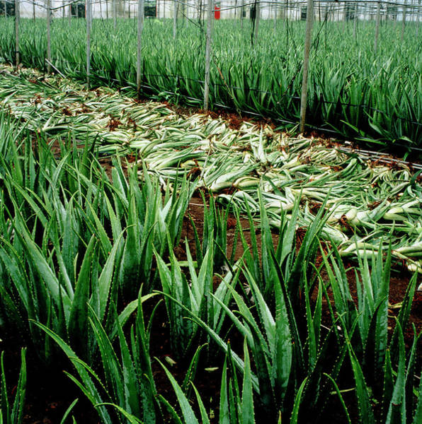 Wall Art - Photograph - Fields Of Aloe Vera Being Harvested by Mark De Fraeye/science Photo Library
