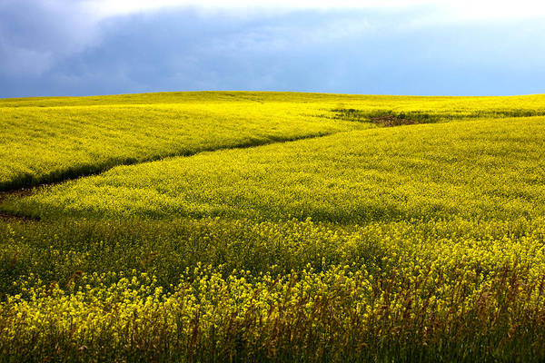 Photograph - Fields Of Gold by Shane Bechler