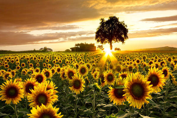 Sunflowers Photograph - Fields Of Gold by Debra and Dave Vanderlaan