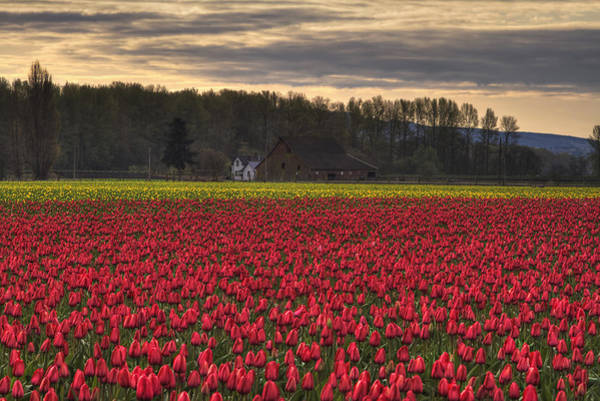 Photograph - Fields Of Tulips by Mark Kiver