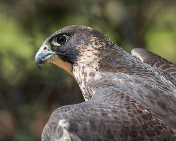 Photograph - Fierce Predator by Dale Kincaid