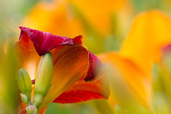 Soul Photograph - Fiery Flora by Mary Amerman