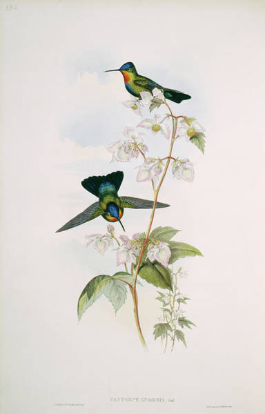 1800s Wall Art - Photograph - Fiery-throated Hummingbirds by Natural History Museum, London/science Photo Library