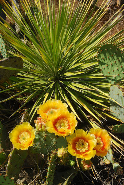 Prickly Pear Photograph - Fiesta Blooms by Robert Anschutz