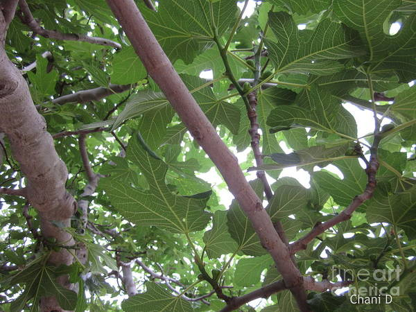 Photograph - Fig Tree by Chani Demuijlder