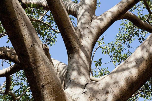 Amhara Photograph - Fig Tree Near The Escarpment by Martin Zwick