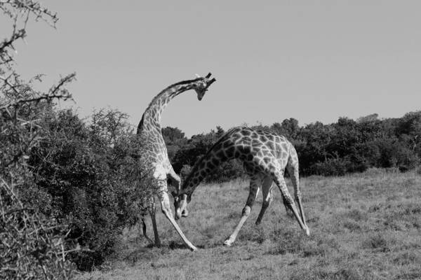 Wall Art - Photograph - Fight by Chris Whittle