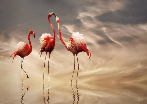 Flamingos Wall Art - Photograph - Fighting ... by Anna Cseresnjes