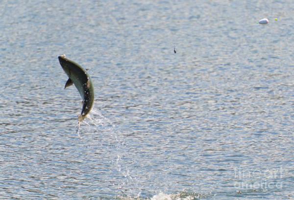 Chinook Salmon Photograph - Fighting Chinook Salmon by Mike  Dawson