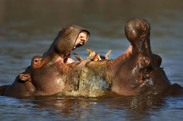 Hippopotamus Amphibius Wall Art - Photograph - Fighting Hippo's by Johan Swanepoel