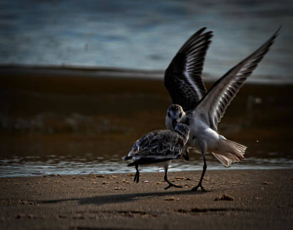 Photograph - Fighting Sandpipers by Maggy Marsh