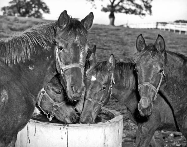 Zazzle Photograph - Fillies & Colts Around Barrel by Underwood Archives