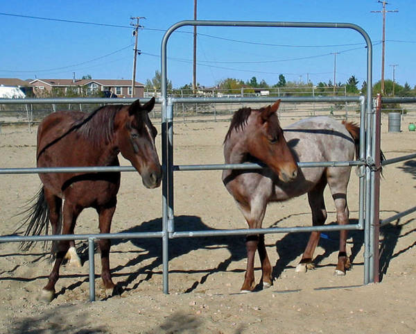 Photograph - Fillies At The Gate by Linda Feinberg