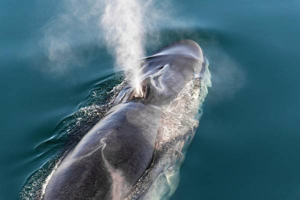 Blowhole Photograph - Fin Whale Blowing by Christopher Swann