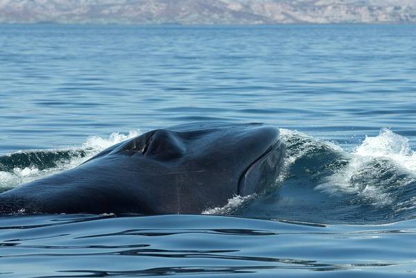 Blowhole Photograph - Fin Whale by Christopher Swann/science Photo Library