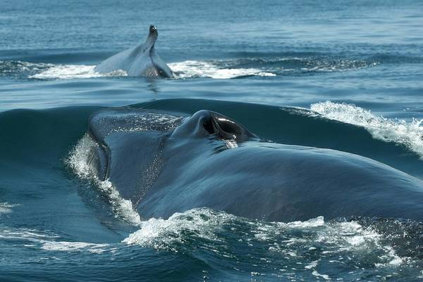 Blowhole Photograph - Fin Whales by Christopher Swann/science Photo Library