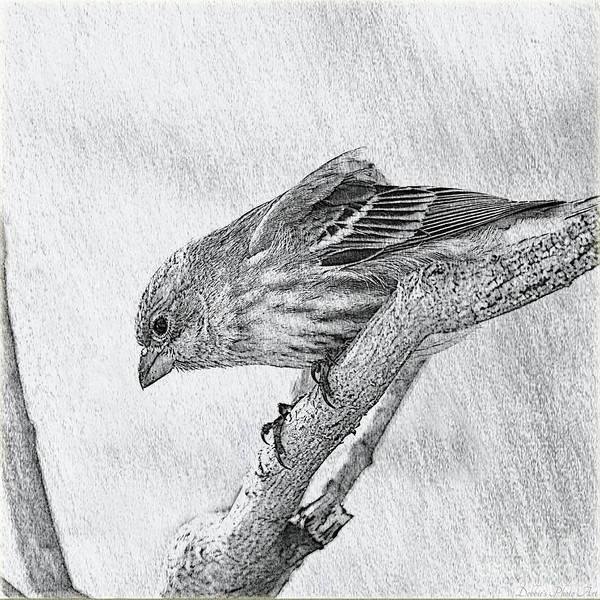 Wall Art - Photograph - Finch Digital Sketch by Debbie Portwood