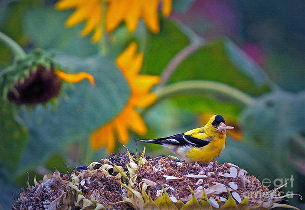Sunflower Seeds Photograph - Finch Feast by Gwyn Newcombe