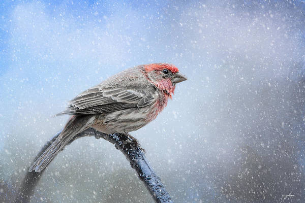 Photograph - Finch In The Snow by Jai Johnson