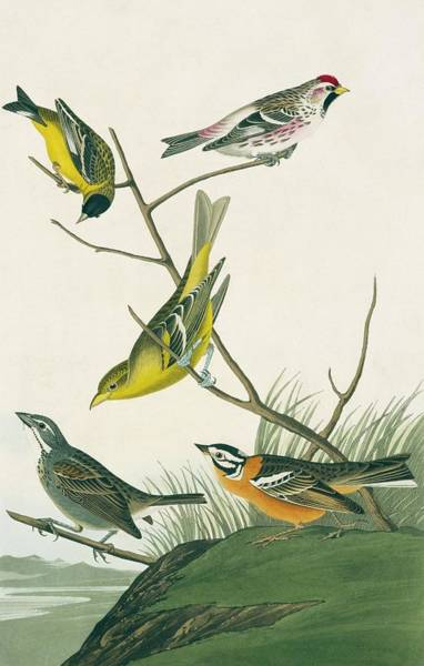 Wall Art - Photograph - Finches And Tanagers by Natural History Museum, London/science Photo Library