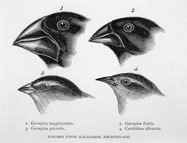 Wall Art - Drawing - Finches From The Galapagos Islands by Mary Evans Picture Library